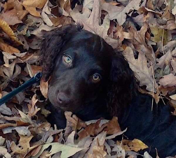 A Little Brown Puppy With Light Golden Brown Eyes And A Dark Shiny Brown Coat With Longer Wavy Hair On Its Ears Laying In A P Boykin Spaniel Spaniel Dog Breeds