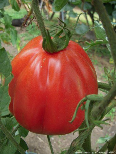 Cuore di Bue - Oxheart Tomatoes