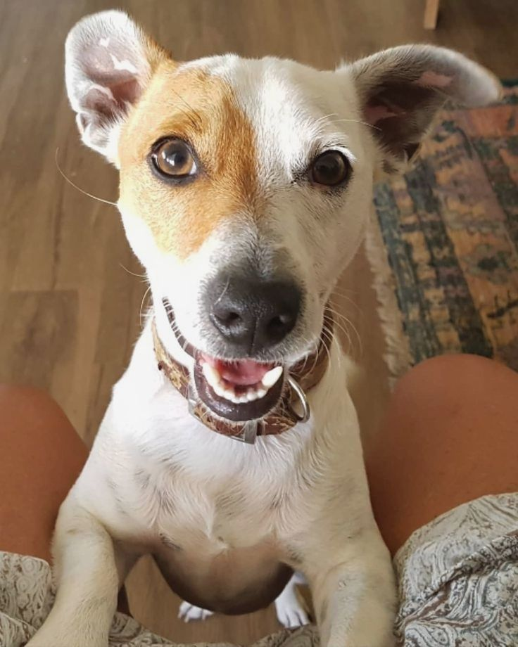 Pin By Carol P Luna On Jack Russell Terrier Jack Russell Jack Russell Terrier Terrier
