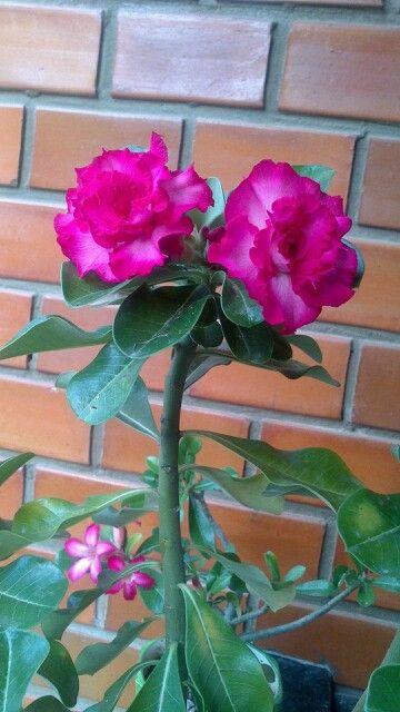 Rosa do deserto -