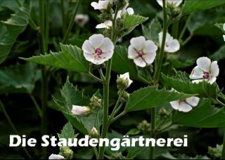 Althaea officinalis echter eibisch