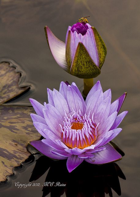 Waterlily, Tropical Day Flowering at Longwood Gardens PA | Flickr - Photo Sharing!