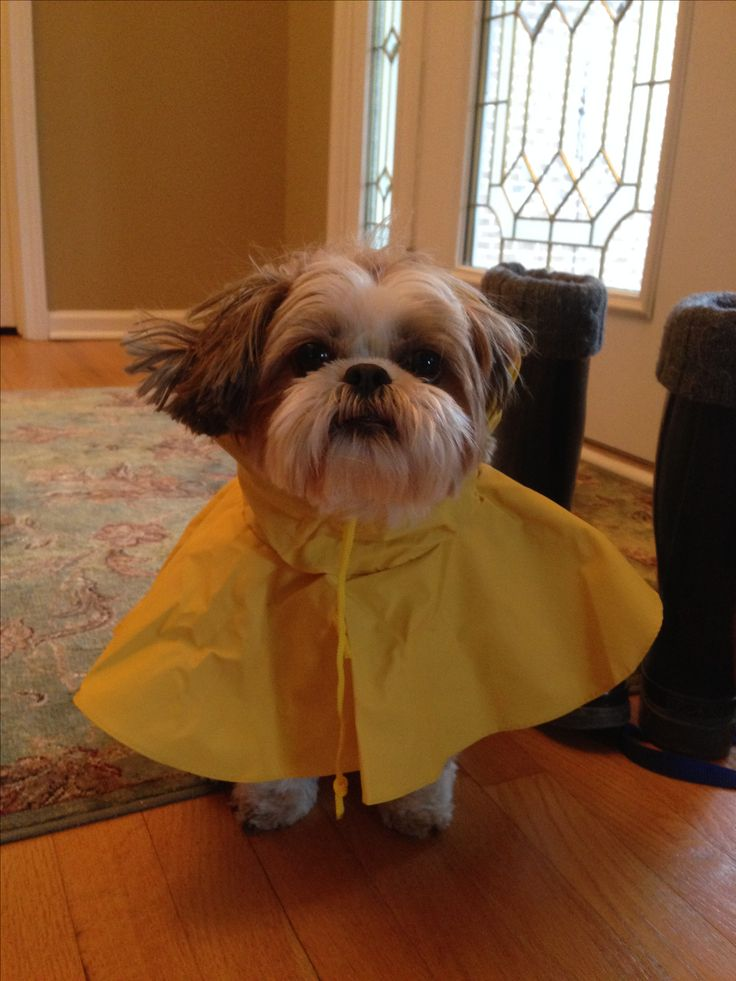 Shih Tzu ~ Taffy Apple ready for April showers!  Mac used to have this same  little raincoat for walks or come home a wet, cold mop.