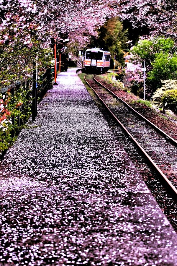 Arrival in Spring - Cherry blossoms and train, Japan