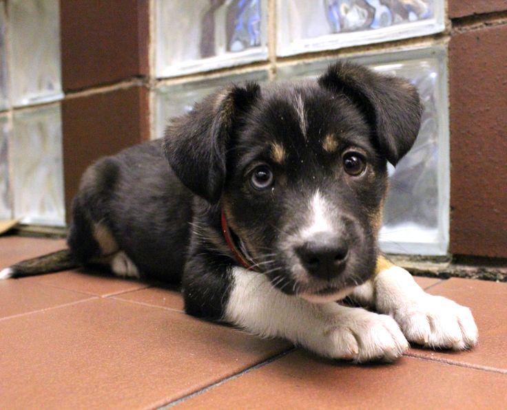 Husky St Bernard Mix Puppies Benita is a st. bernard / husky mix puppy! she loves back rubs far