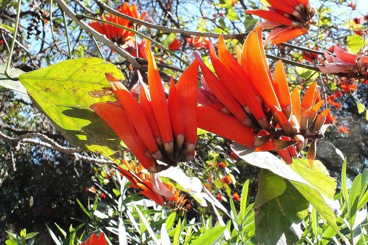 Image result for koraalboom blom