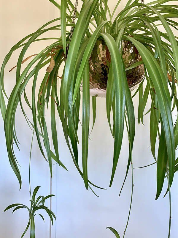 12 Plants You Can Grow Successfully In The Shower In 2020 Plants Shower Plant Spider Plants