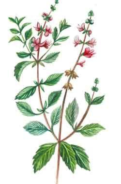 Базилик мятолистный (Базилик камфорный)Заготовка и хранение. Используют траву базилика, собранную во время его цветения. Используют всю надземную часть выше 6 см от поверхности. Затем на растении отрастают новые побеги, которые срезаются и используются для заготовки. Сушат сырье в хорошо проветриваемом помещении или под навесом. Растение аптеками не отпускается.