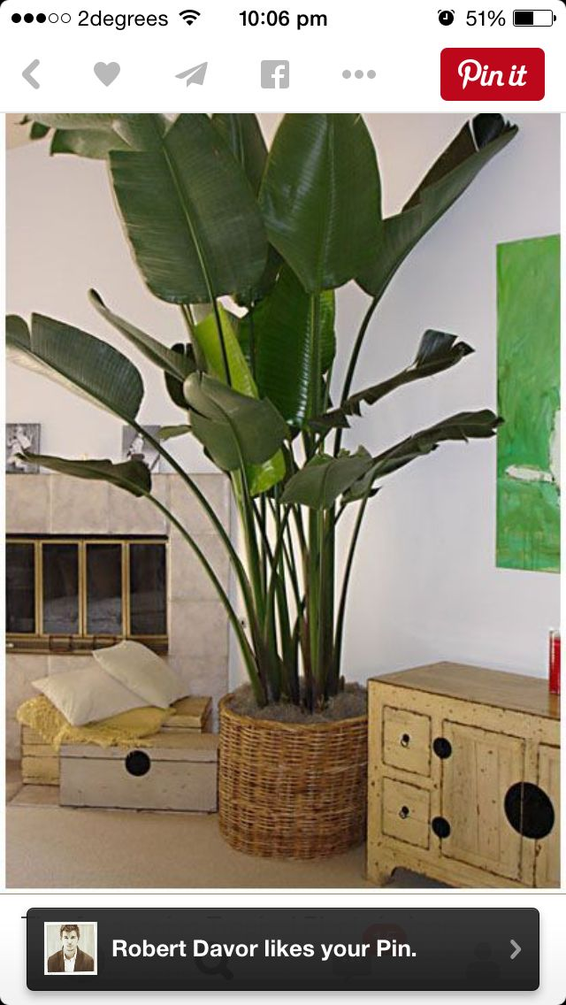 15 best Indoor Palms images on Pinterest   Indoor palm trees ...