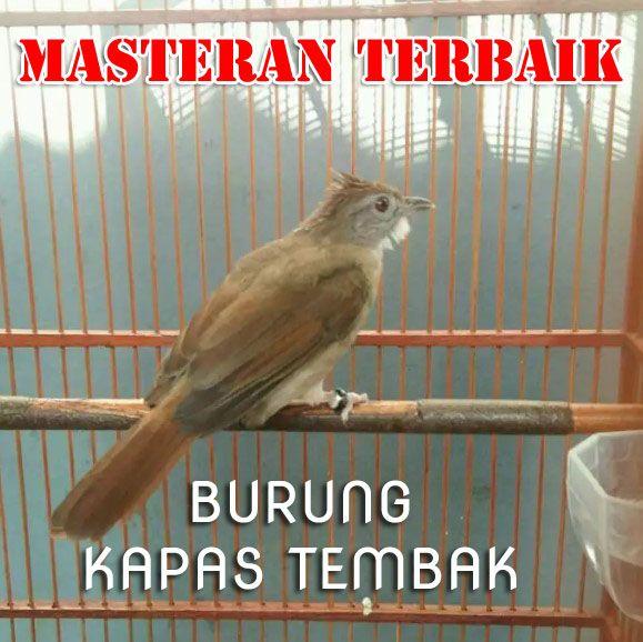 Pecinta Burung Kicau Pastinya Akan Menyukai Dengan Salah Satu Jenis Burung Ini Jenis Burung Kapas Tembak Merupakan Jenis Burung Yang Burung Burung Beo Kapas