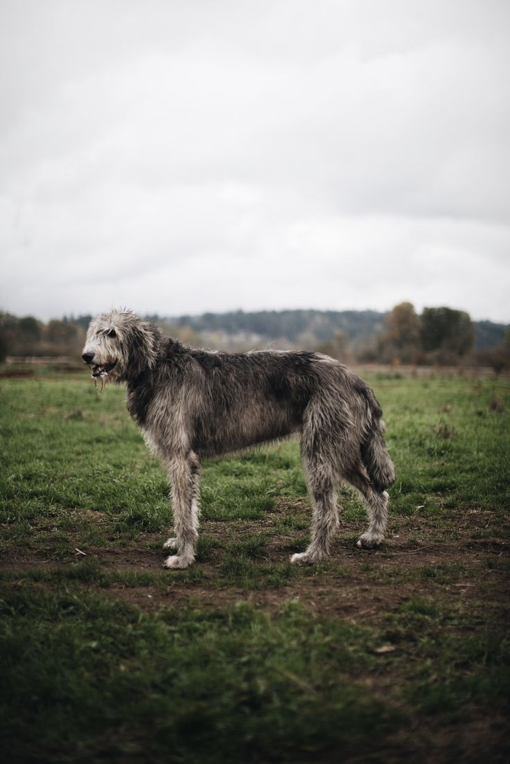 Finn, Irish Wolfhound, 7 years old. Marymoor Park, Washington. ""