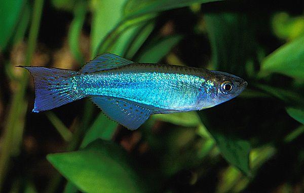 Gallery Fish Photos - Procatopus aberrans