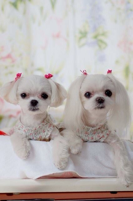 Two ponytail puppies Maltese haircut, Maltese dogs