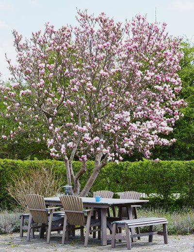 Een prachtige Magnolia is sprookjesachtig als hij bloeit!