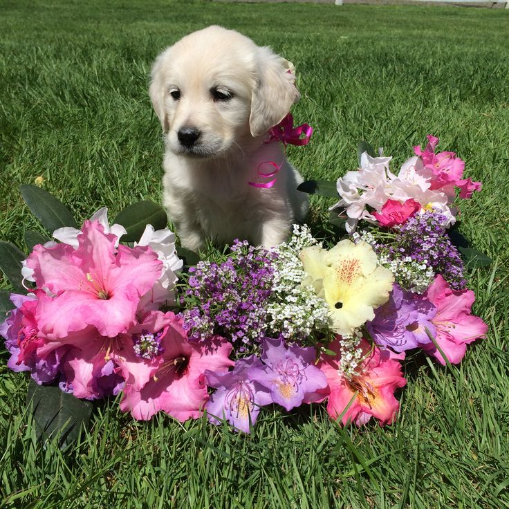 Puppy 2018 American golden retriever, Kennel, Labrador