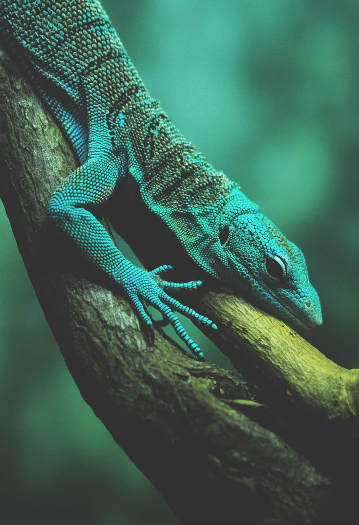 1000+ images about AMAZING LIZARDS! on Pinterest ... - photo#47