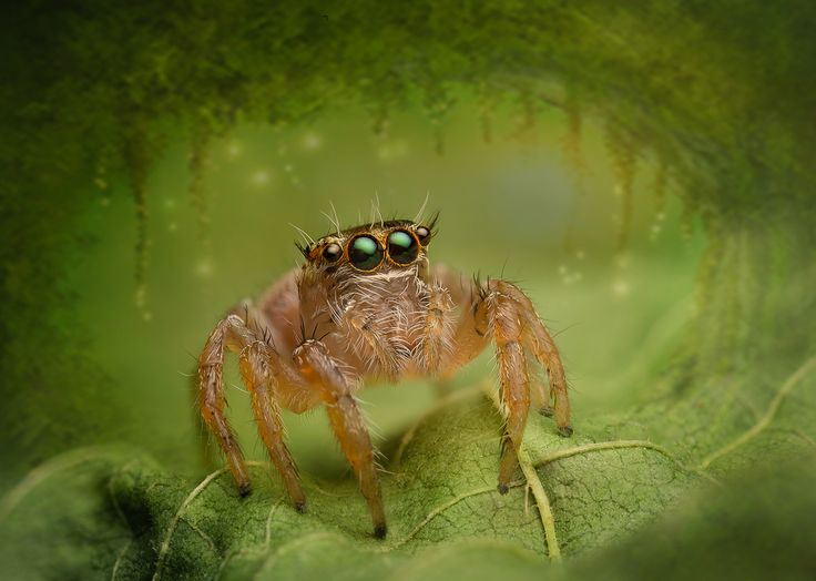 Salticidae - Evarcha flavocincta (female)