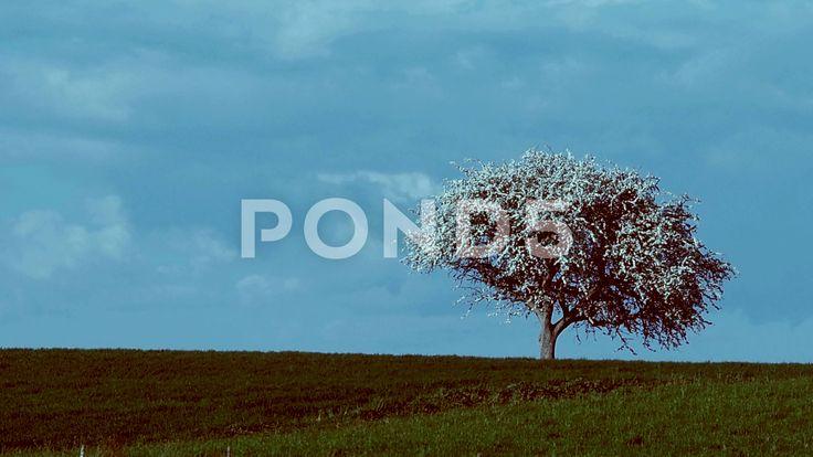 flowering tree - Stock Footage | by settantasette