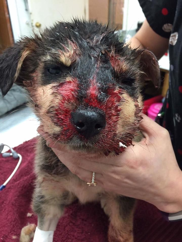 HE'S ONLY 6 WEEKS OLD WTH?! This poor 6 week old baby has a crushed head and jaw. You won't believe what his owner did... Keep Reading : http://dogco.org/save-benjie-rdrPosted by Hendrick & Co. on Tuesday, January 31, 2017This 6 week old Baby Benjie was ATTACKED by 3 large dogs, crushing Benjies