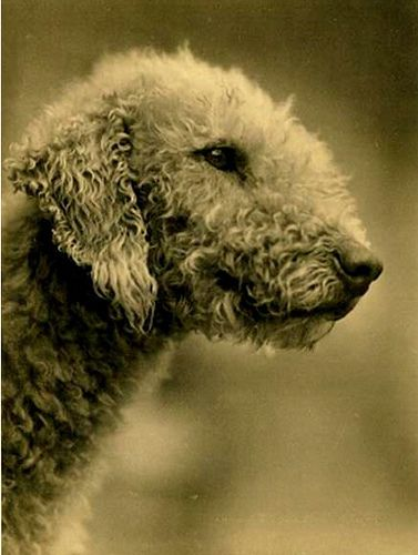 BEDLINGTON TERRIER  of VINTAGE NORTHUMBRIAN STOCK  with GERMAN STOCK  INTERMING by forpawsgrooming, via Flickr