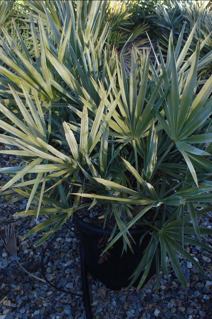 17 best ideas about palmier nain on pinterest jardin d. Black Bedroom Furniture Sets. Home Design Ideas