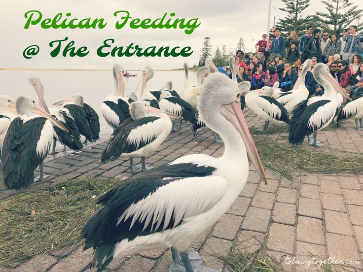 Pelican Feeding @ The Entrance, Sydney Australia