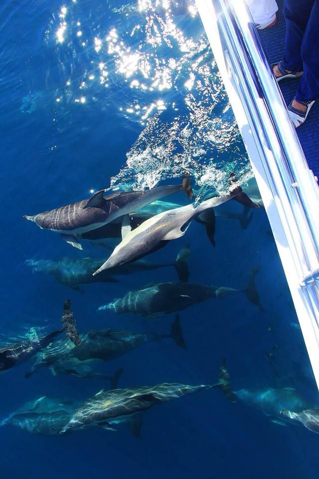Dolphins riding the Amaroo bow wave!!! Bed & Breakfast Available from Sunday 11th January 2015 - Full Details https://www.facebook.com/pages/Mansfield-By-The-Lake-Bed-Breakfast-Forster-NSW/171100216279770 Ph 0265547780 E jill.perram@bigpond.com beaches swimming clubs fishing surfing lakes national parks bed and breakfast
