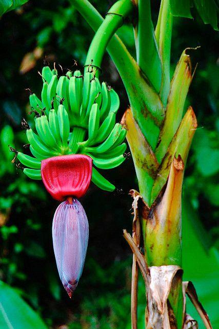 Banana tree with banana heart