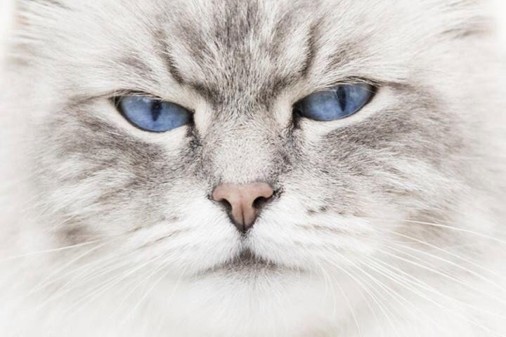 Illarion Kamaris neva masquerade (Siberische kat) www.sanderhermans.com