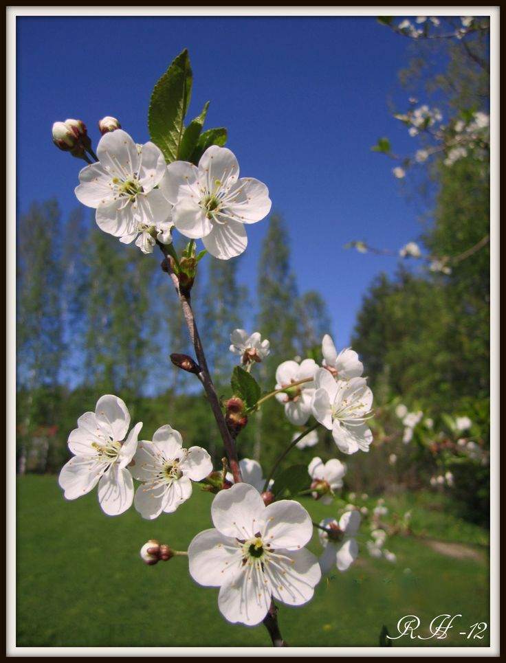 cherry blossom ... so beautiful !