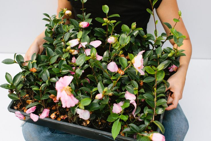 Camellias | Buy me | Plants in a Box