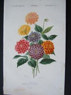 Dahlias. Hand colored steel engraving. Orbigny.1856.  170 x 270 mm