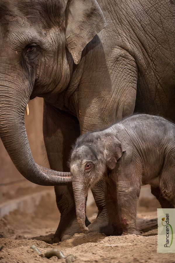 A super-sized Christmas present arrived at Planckendael on Dec. 25: an adorable baby Elephant!  See videos of the birth on ZooBorns.com