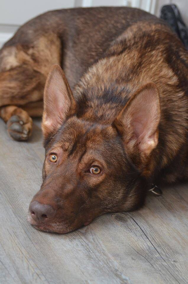Liver Sable German Shepherd