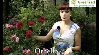 посадка английских роз видео - YouTube
