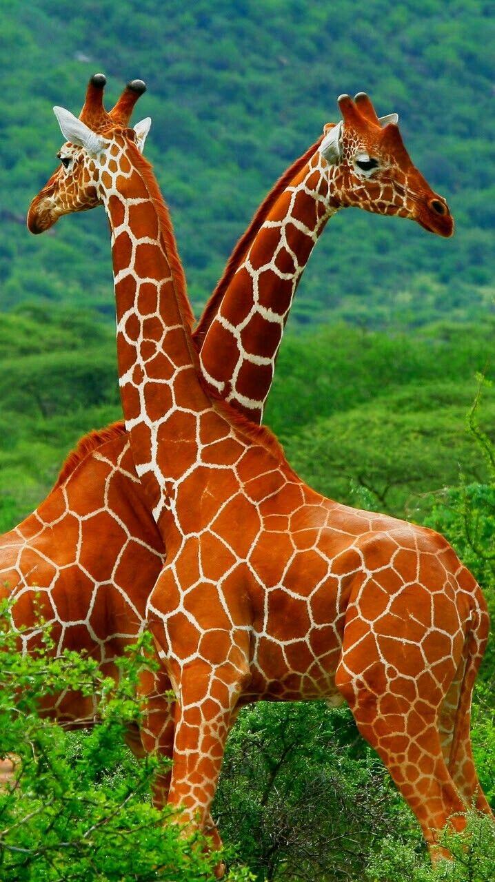 17 Best Ideas About Giraffe Painting On Pinterest