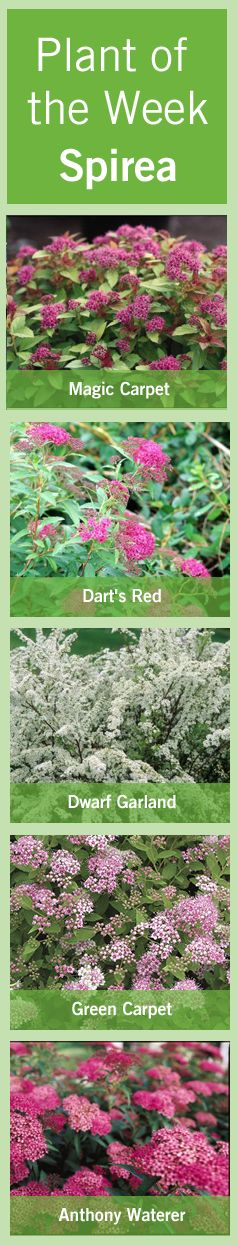 #Spirea has an all season interest and will look fantastic in any residential #design.  It is a deciduous #shrub that will be bare in the winter but adds a nice display in the fall with #foliage colors or bright orange and red.  The spirea #blooms a distinctive #flower a lot like yarrow.  Read more here http://www.bylands.com/blog-entry/plant-week-august-2-2012-spirea