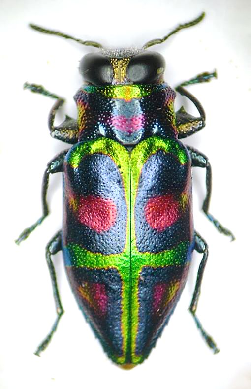 Beetles In The Bush | Experiences and reflections of a Missouri ...