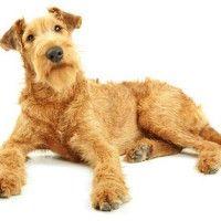 #dogalize Razas de Perros: Terrier Irlandés caracteristicas #dogs #cats #pets