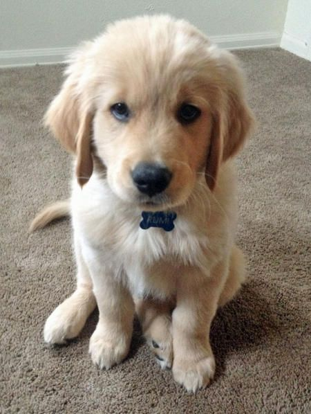 Rumi the Golden Retriever