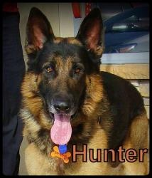Hunter is an #adoptable #GermanShepherd Dog in #SanPedro, #CALIFORNIA. Meet Hunter a Male, #Purebred German Shepherd Dog. He weighs approx 87 lbs. thus far but will likely be about 90 when he fills out a bit...http://www.petfinder.com/petdetail/25158060