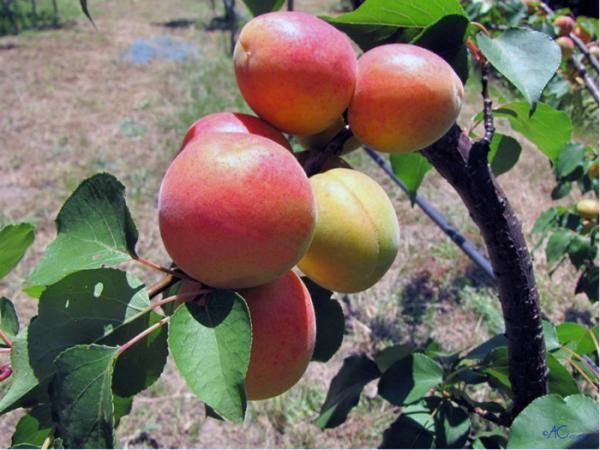 Como plantar Damasco. O Damasco ou Damasqueiro é uma planta que pode ser cultivada na forma de árvore ou arbusto, dependendo de sua preferência. Ela gosta de muito sol e água com moderação, se adequando muito bem à climas ...