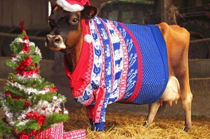 Selbst gestrickter Weihnachtspullover für Kuh Gloria
