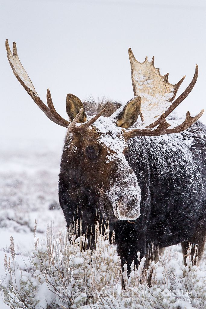 Bull Moose Covered in Snow | Flickr - Photo Sharing!