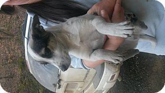 Prestonsburg, KY - Bull Terrier/Jack Russell Terrier Mix. Meet trigger, a dog for adoption. http://www.adoptapet.com/pet/12117954-prestonsburg-kentucky-bull-terrier-mix