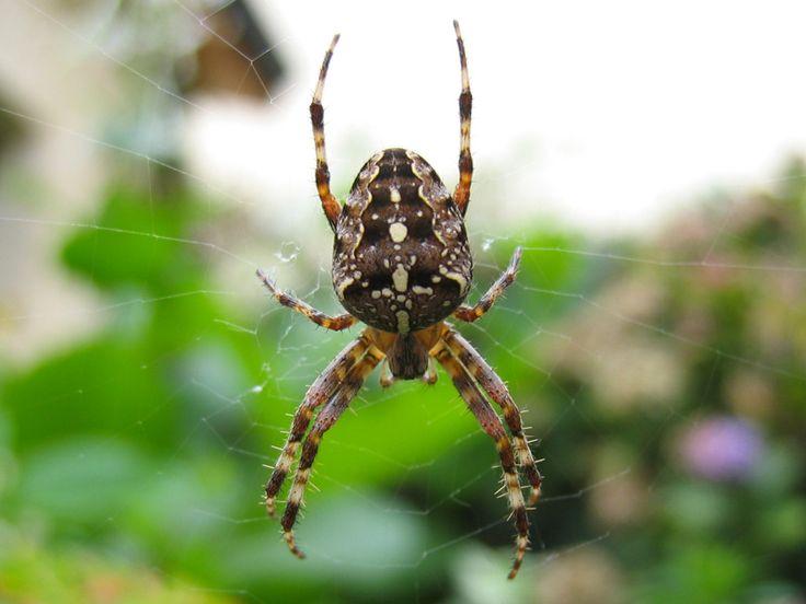 Dur e de vie d une araign e de jardin design de maison - Araignee des jardins en 6 lettres ...