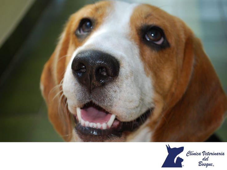 https://flic.kr/p/Qbu5pM | Beagles. CLÍNICA VETERINARIA DEL BOSQUE 3 | Beagle. CLÍNICA VETERINARIA DEL BOSQUE. El Beagle es una raza canina muy inteligente, y sumamente popular como animal doméstico por su capacidad de adaptación. Es un perro pequeño, cariñoso, jovial y fiel, lo cual hace que sea muy apreciado como mascota casera y como compañero para los niños. En Clínica Veterinaria del Bosque te brindamos toda la asesoría necesaria y atención médica profesional, para atender la salud…