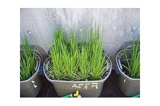 how to grow rice indoors