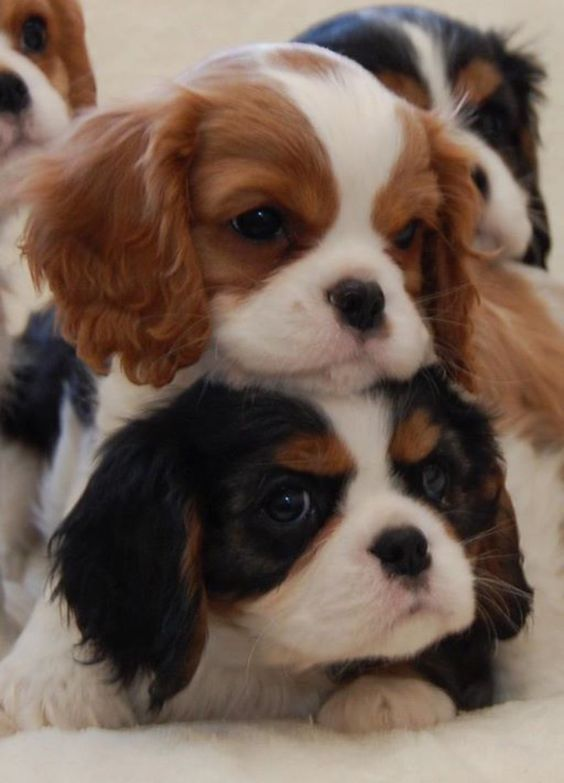 A little stack of Cavalier King Charles Spaniel puppies! (Breeder: Chadwick Cavalier King Charles Spaniels)