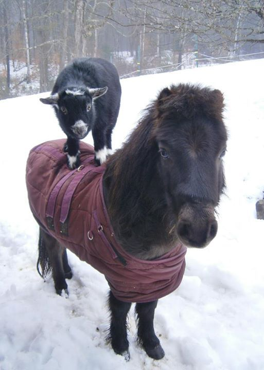 Piggy The Miniature Horse And Zuzu The Nigerian Dwarf Goat Pretend To Be Acrobats At Their